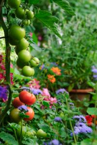 Tomato plants growing among a flower garden